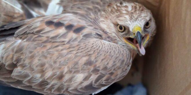בפעם השנייה בתוך חודש: עוף דורס נפגע מטורבינות ברמת סירין