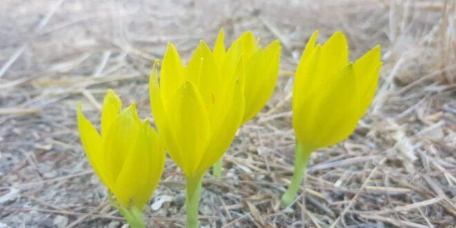 עם מחזור חיים של שבוע אחד: פרח החלמונית נצפה ביער בירייה