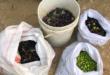 שתי נשים נעצרו בחשד לגניבת תוצרת חקלאית מכפר שמואל