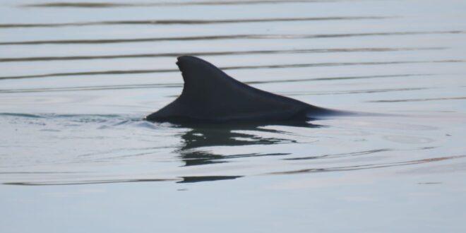 שבועיים לאחר שנצפה יחד עם אמו: חיפושים אחר גור הדולפין המגובנן שנעלם