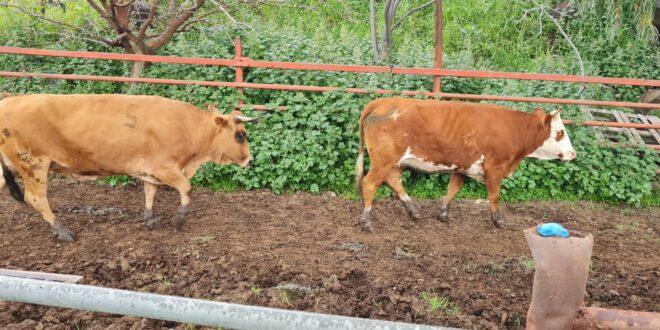 """שוטרי מג""""ב איתרו והחזירו 2 פרות גנובות לבעליהן, תושב הצפון חשוד במעשה"""
