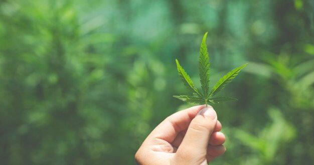 בשורה למגדלי הקאנביס הרפואי: פותחו זנים עמידים למחלות הפוגעים בצמחים
