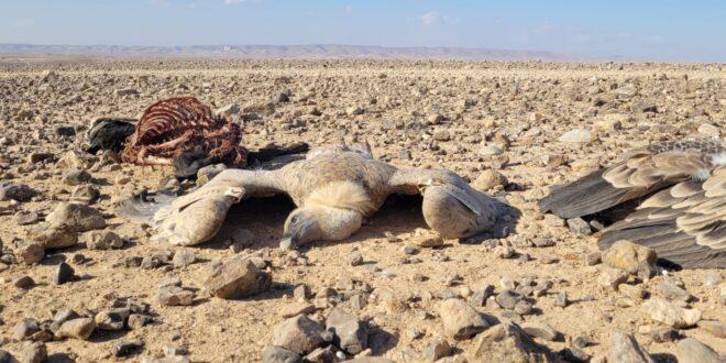 תשעה נשרים נמצאו מתים במדבר יהודה, חשד שהורעלו בזדון