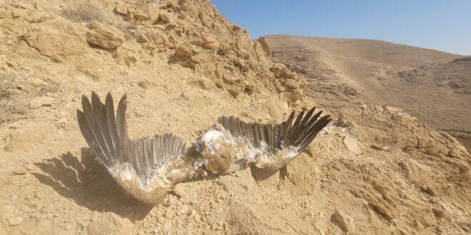 נשר מורעל נוסף נמצא סמוך לאזור בו הורעלו תשעת הנשרים במדבר יהודה